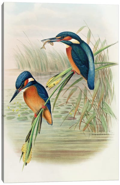 Alcedo Ispida, plate from 'The Birds of Great Britain' by John Gould, published 1862-73  Canvas Art Print