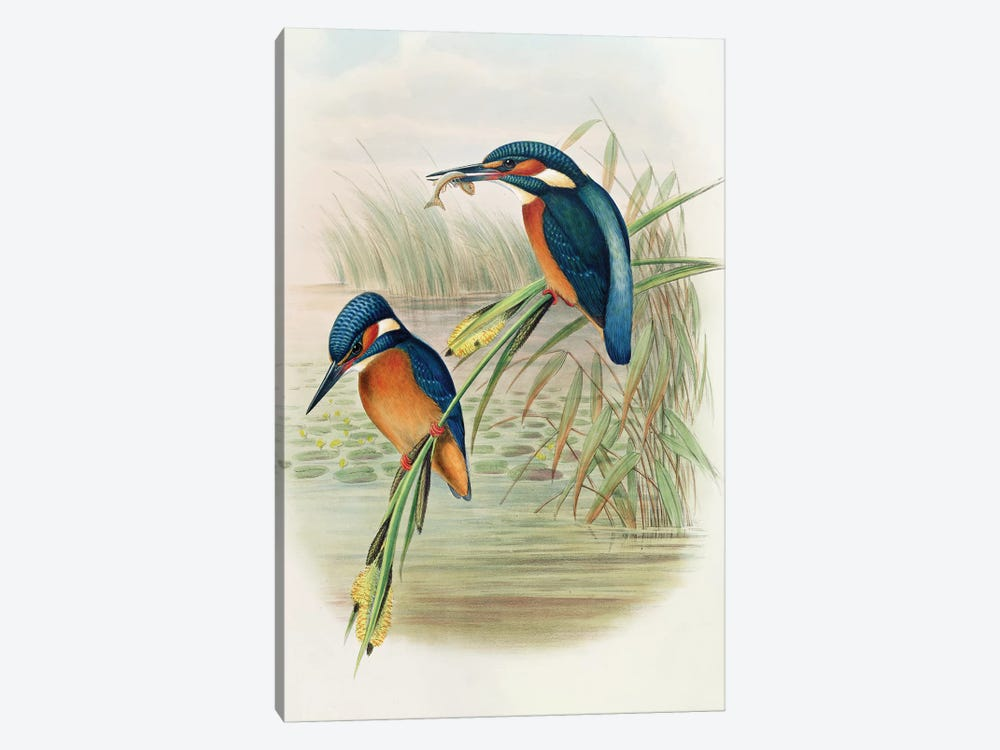 Alcedo Ispida, plate from 'The Birds of Great Britain' by John Gould, published 1862-73  by John Gould 1-piece Canvas Art Print