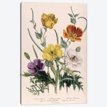 Poppies and Anemones, plate 5 from 'The Ladies' Flower Garden', published 1842  Canvas Print #BMN382} by Jane Loudon Art Print