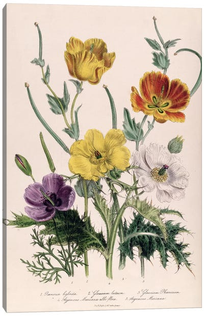 Poppies and Anemones, plate 5 from 'The Ladies' Flower Garden', published 1842  Canvas Art Print