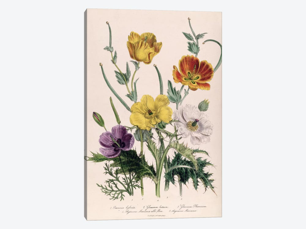 Poppies and Anemones, plate 5 from 'The Ladies' Flower Garden', published 1842 by Jane Loudon 1-piece Canvas Art Print