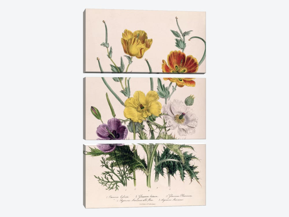 Poppies and Anemones, plate 5 from 'The Ladies' Flower Garden', published 1842  by Jane Loudon 3-piece Canvas Art Print