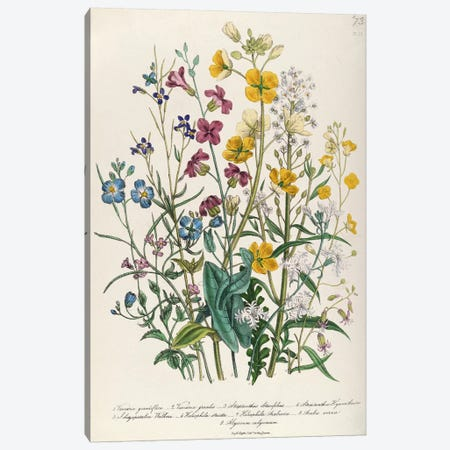 Forget-me-nots and Buttercups, plate 13 from 'The Ladies' Flower Garden', published 1842  Canvas Print #BMN383} by Jane Loudon Art Print