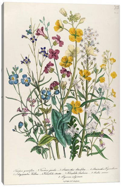 Forget-me-nots and Buttercups, plate 13 from 'The Ladies' Flower Garden', published 1842 Canvas Art Print