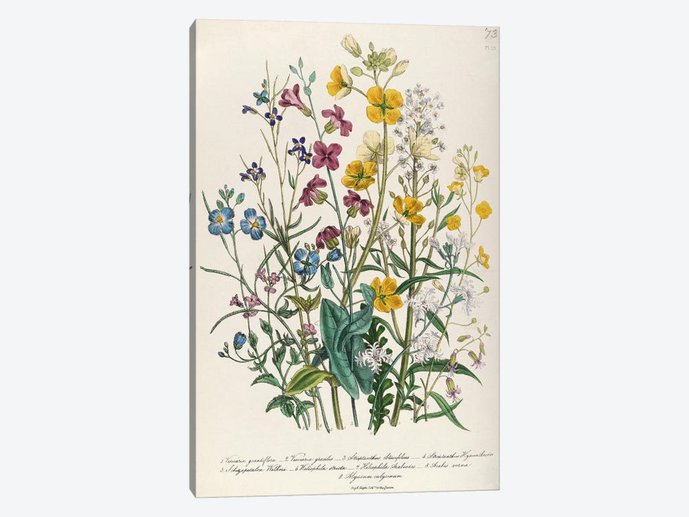 Forget-me-nots and Buttercups, plate 13 from 'The Ladies' Flower Garden', published 1842 by Jane Loudon 1-piece Canvas Art