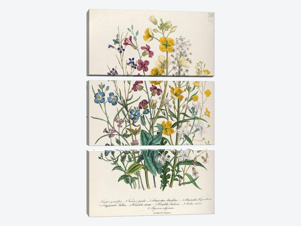 Forget-me-nots and Buttercups, plate 13 from 'The Ladies' Flower Garden', published 1842  by Jane Loudon 3-piece Canvas Artwork