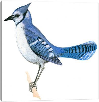 Blue jay Canvas Print #BMN4004