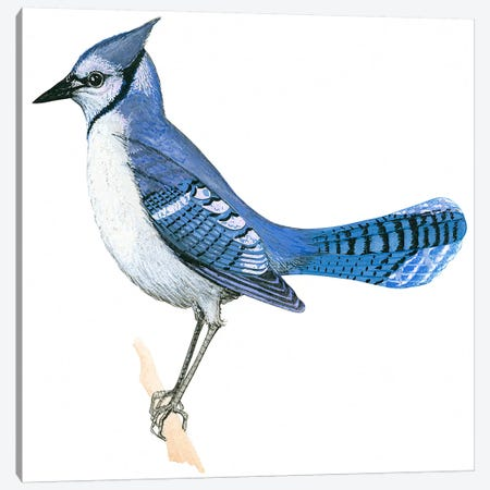 Blue jay Canvas Print #BMN4004} by Unknown Artist Canvas Print