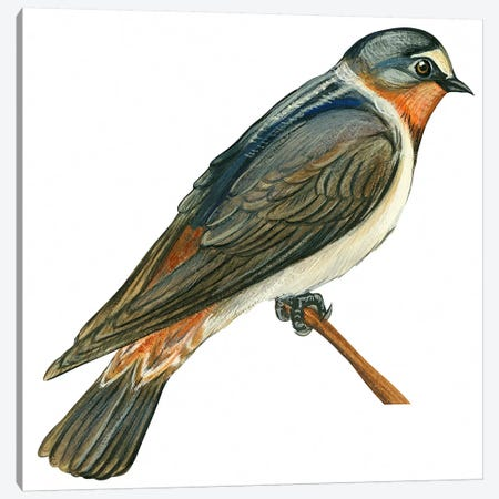 Cliff swallow Canvas Print #BMN4006} by Unknown Artist Art Print