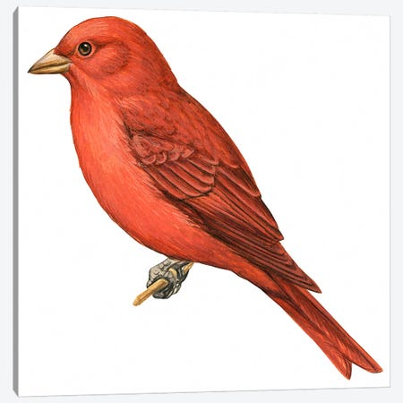 Summer tanager Canvas Print #BMN4008} by Unknown Artist Canvas Artwork