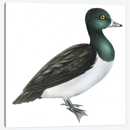 Ring-necked duck Canvas Print #BMN4020} by Unknown Artist Canvas Wall Art