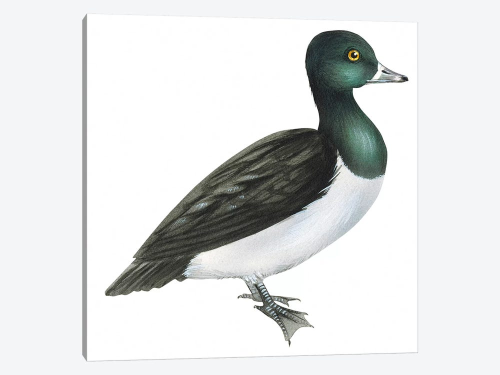 Ring-necked duck 1-piece Canvas Art Print