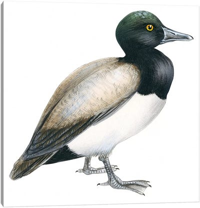 Greater scaup Canvas Art Print