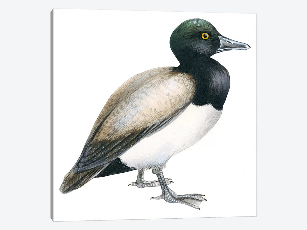 Greater scaup by Unknown Artist 1-piece Canvas Art