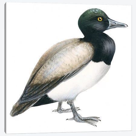 Greater scaup Canvas Print #BMN4021} by Unknown Artist Canvas Artwork
