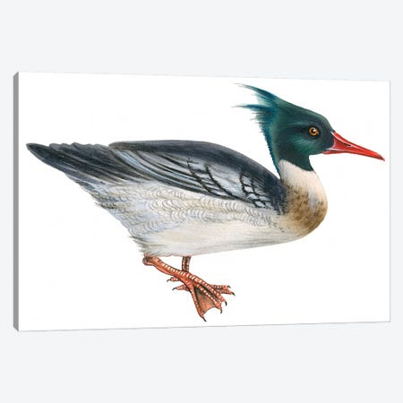 Red-breasted merganser Canvas Print #BMN4023} by Unknown Artist Canvas Art