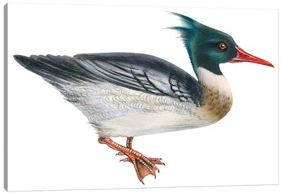Red-breasted merganser Canvas Art Print