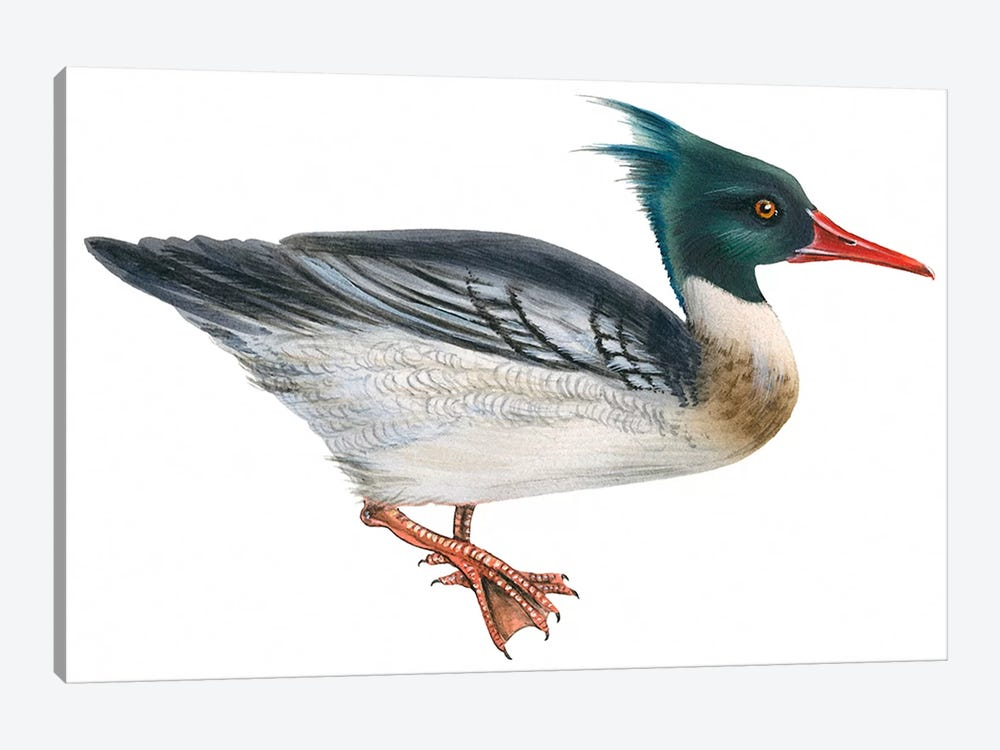 Red-breasted merganser 1-piece Canvas Wall Art