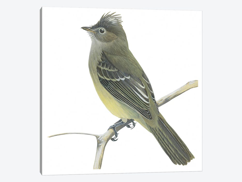 Yellow-bellied elaenia by Unknown Artist 1-piece Canvas Art