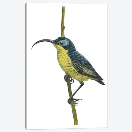 Wattled false sunbird Canvas Print #BMN4026} by Unknown Artist Art Print