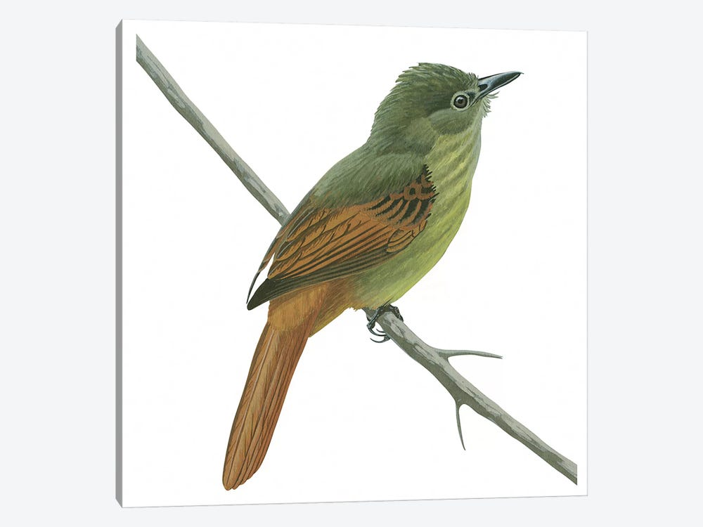 Rufous-tailed flatbill 1-piece Canvas Art