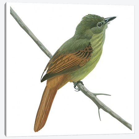Rufous-tailed flatbill Canvas Print #BMN4027} by Unknown Artist Canvas Print