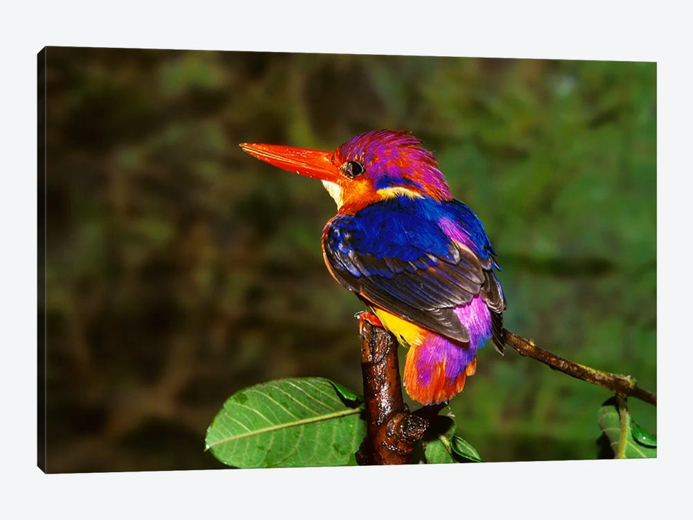 India. Three-Toed Kingfisher 1-piece Canvas Art Print
