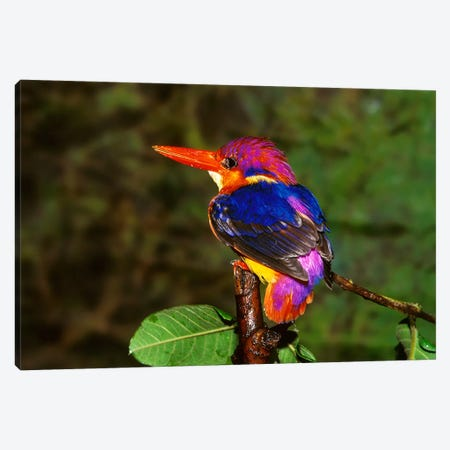 India. Three-Toed Kingfisher  Canvas Print #BMN4039} by Unknown Artist Canvas Art Print