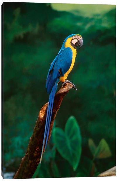 Singapore. Macaw, At Jurong Bird Park Canvas Art Print