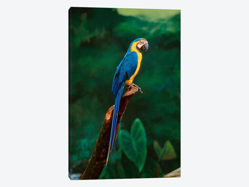 Singapore. Macaw, At Jurong Bird Park by Unknown Artist 1-piece Art Print
