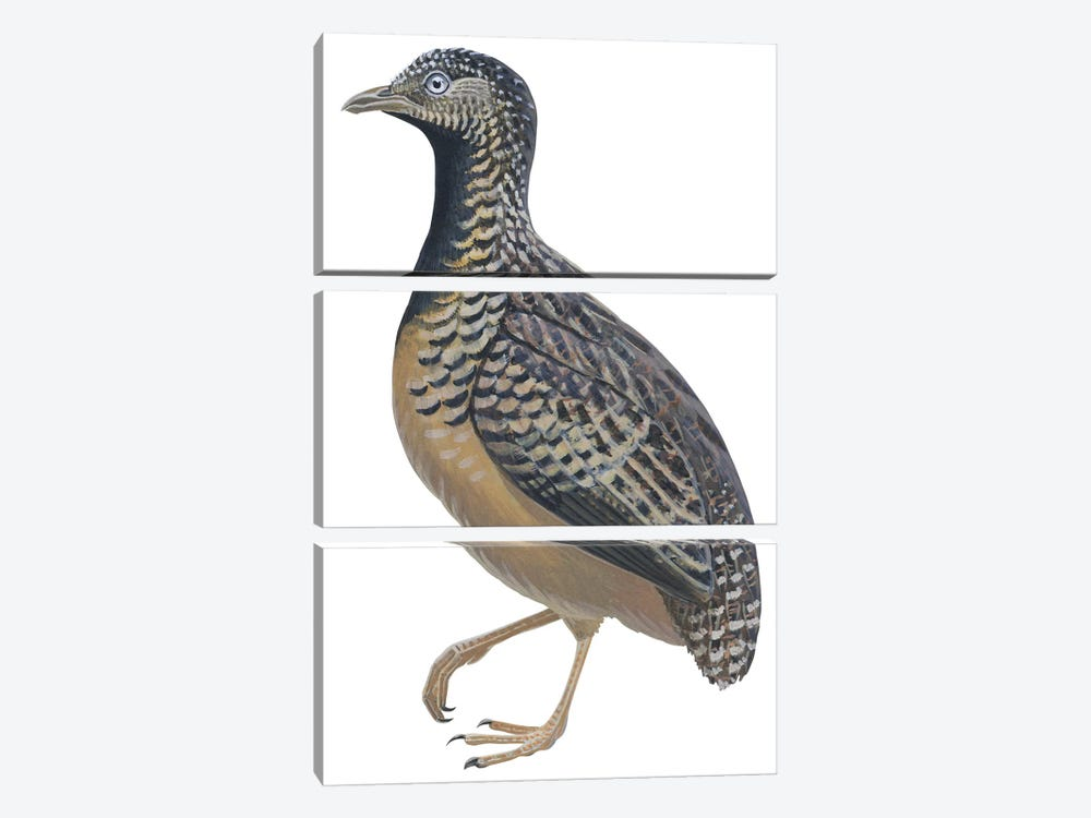 Button quail 3-piece Canvas Wall Art