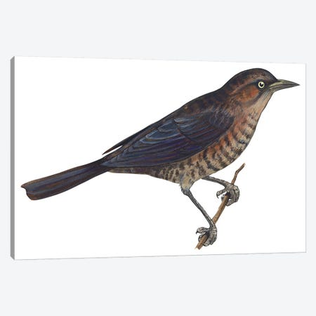 Rusty blackbird Canvas Print #BMN4051} by Unknown Artist Canvas Art Print