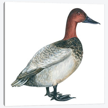 Canvasback duck Canvas Print #BMN4054} by Unknown Artist Canvas Wall Art