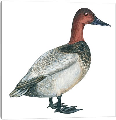 Canvasback duck Canvas Art Print