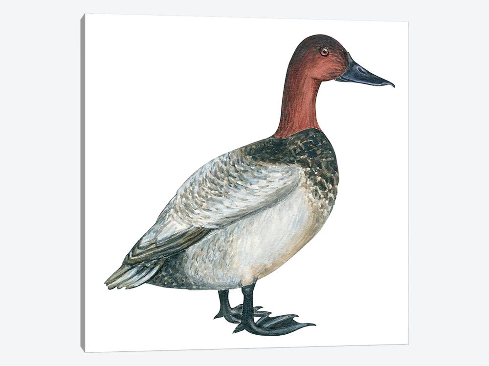 Canvasback duck by Unknown Artist 1-piece Canvas Art