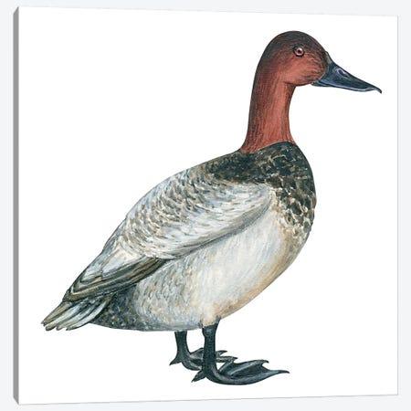 Canvasback duck Canvas Print #BMN4054} by Unknown Artist Canvas Wall Art