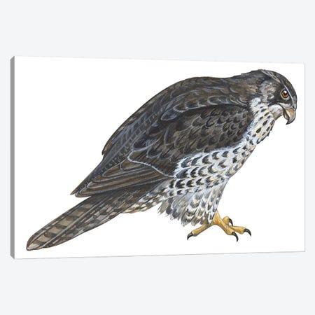 Falcon Canvas Print #BMN4058} by Unknown Artist Canvas Art Print