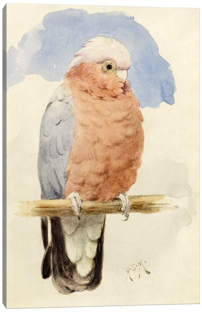 A Rose Breasted Cockatoo, c.1890  Canvas Art Print
