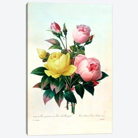 Rosa Lutea and Rosa Indica, from 'Les Choix des Plus Belles Fleurs', 1827 Canvas Print #BMN417} by Pierre-Joseph Redouté Canvas Art