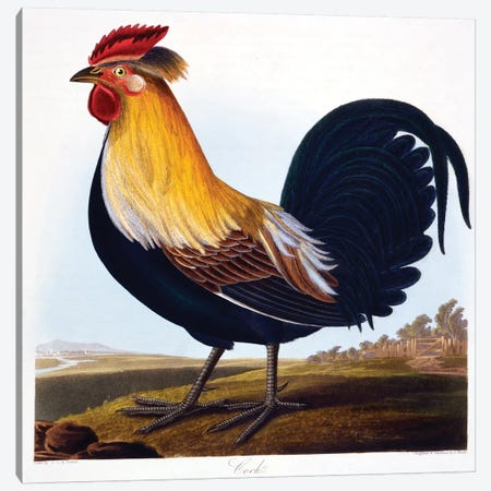 Cock  Canvas Print #BMN4336} by Charlotte L. E. Perrott Canvas Print