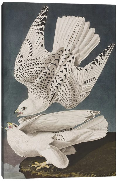 Illustration from 'Birds of America', 1827-38  Canvas Art Print
