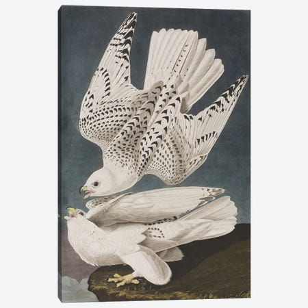 Illustration from 'Birds of America', 1827-38  Canvas Print #BMN4362} by John James Audubon Canvas Art Print