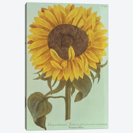 Chrysanthemum: Indicum flore et Semine maximum Canvas Print #BMN4449} by Unknown Artist Canvas Wall Art