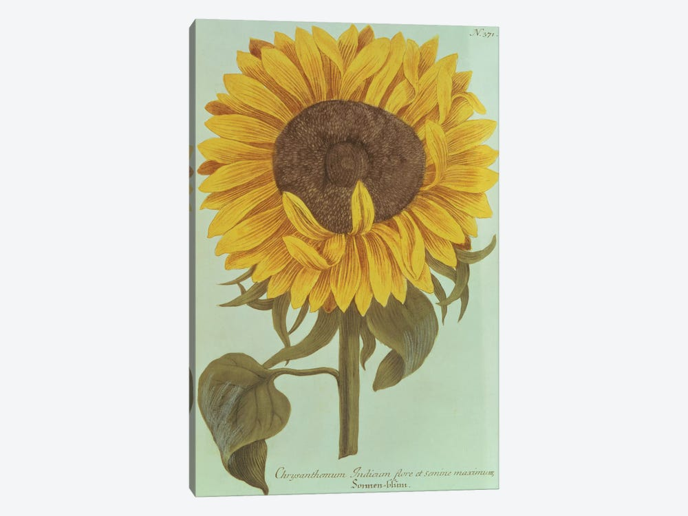 Chrysanthemum: Indicum flore et Semine maximum by Unknown Artist 1-piece Canvas Print