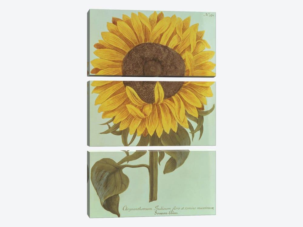 Chrysanthemum: Indicum flore et Semine maximum by Unknown Artist 3-piece Art Print