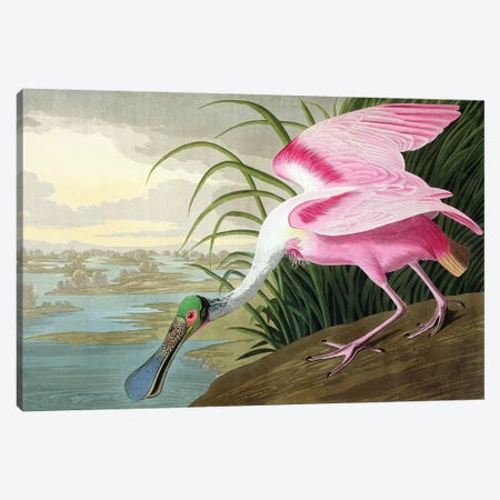 Roseate Spoonbill, Platalea leucorodia, 1836  Canvas Print #BMN4489} by John James Audubon Canvas Art