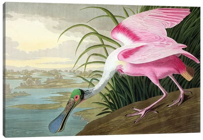 Roseate Spoonbill, Platalea leucorodia, from 'The Birds of America', 1836 Canvas Art Print