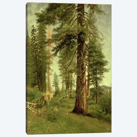 California Redwoods  Canvas Print #BMN4654} by Albert Bierstadt Canvas Art
