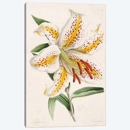 Lily, from 'The Floral Magazine', 1861-71  Canvas Print #BMN4971} by James Andrews Canvas Artwork