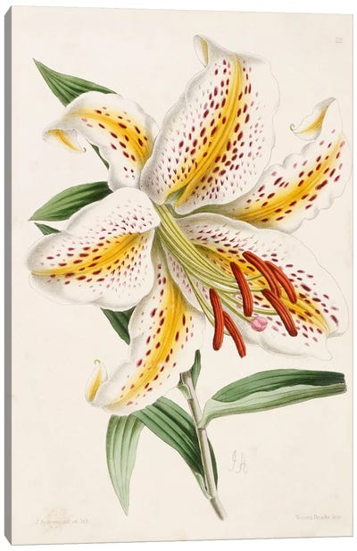 Lily, from 'The Floral Magazine', 1861-71  Canvas Art Print
